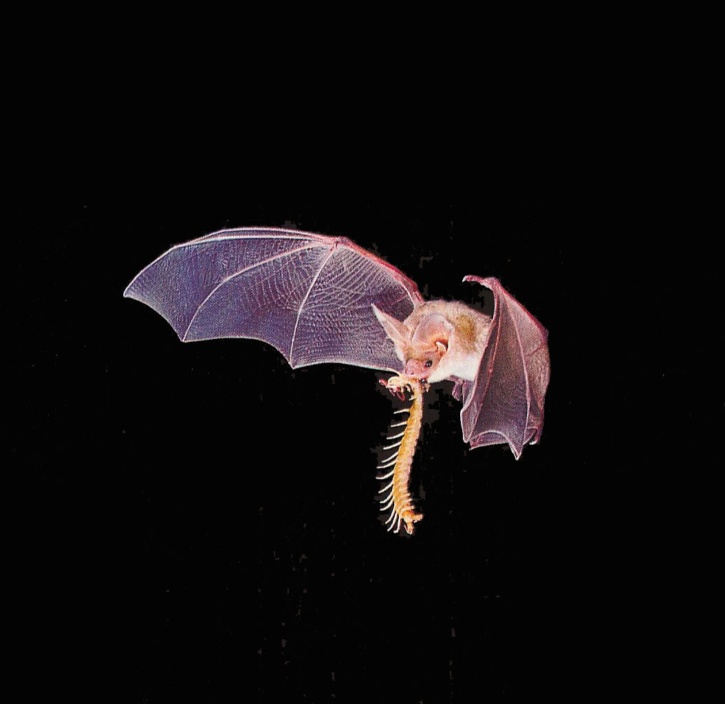 What are bats the garden of eaden for Fish eating bat
