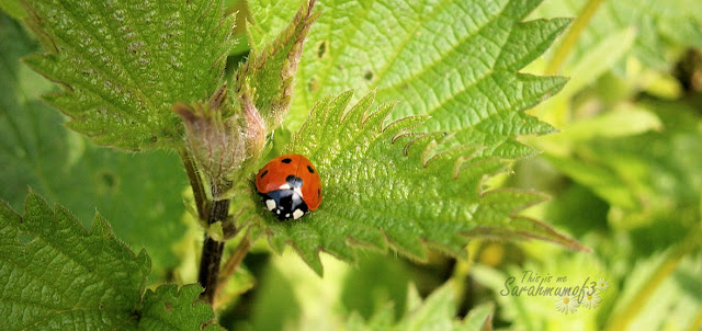 ladybird macro photo
