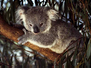 Koala Wallpapers