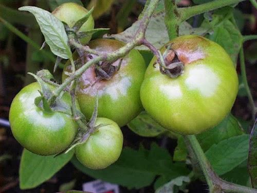 Sebuah goresan sederhana pertumbuhan dan perkembangan buah tomat hujan yang mungkin datang pada akhir musim tanam penyakit ini menyebabkan bercak bercak hijau hitam yang tidak teratur buah mungkin memiliki bercak ccuart Images