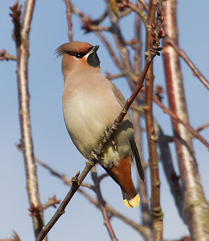 2012 Bird of the Month - November