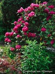 En av favorittene - Rhododendron - mørkrosa