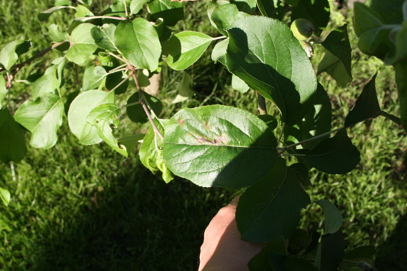 õunapuu kahjurid