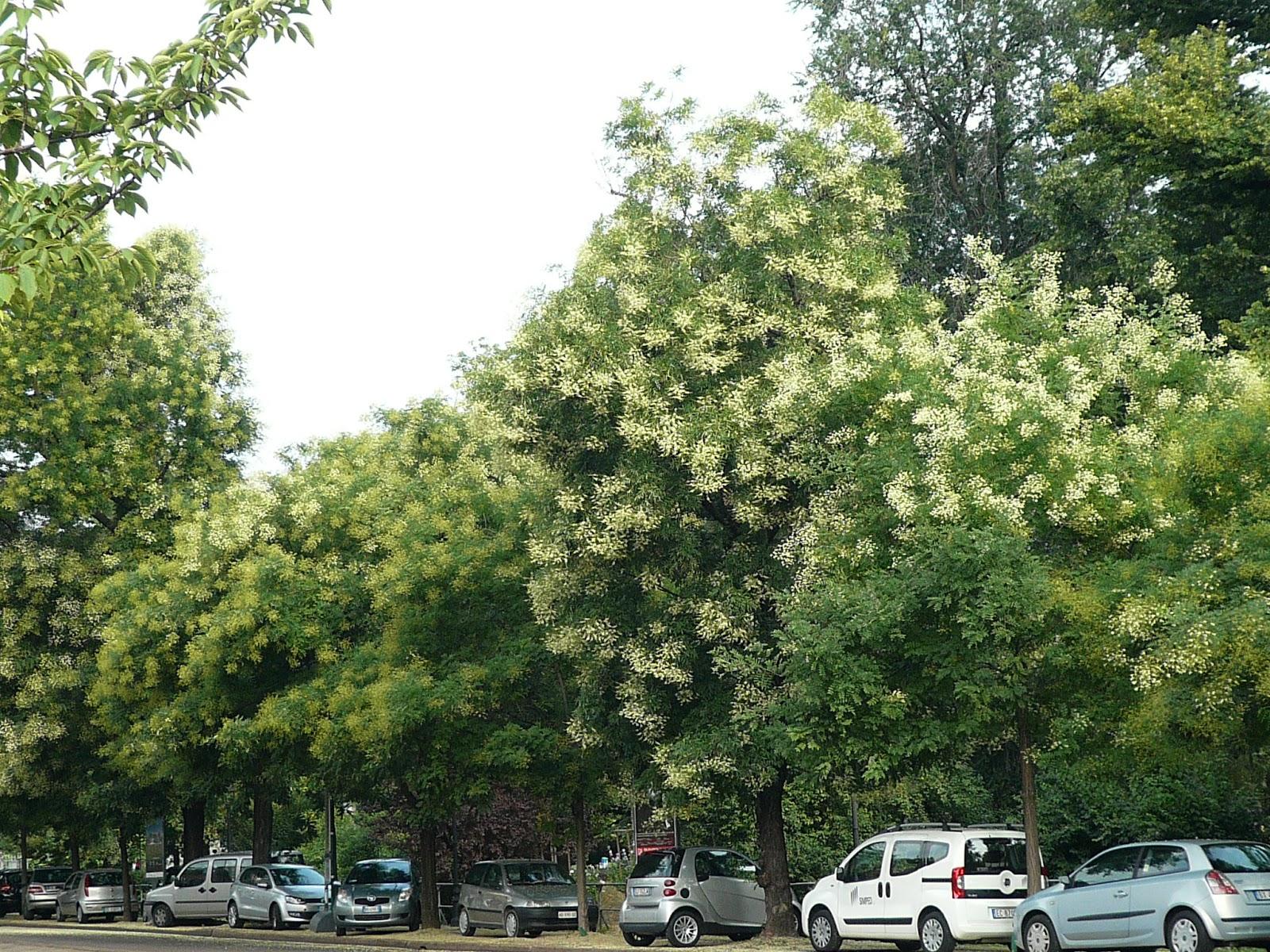 Luglio alberi e arbusti in pompa magna milanoleggera for Alberi alto fusto da giardino