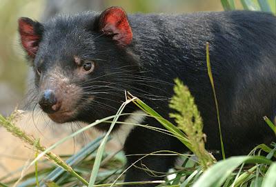 Тасманский дьявол фото,  видео, Австралия