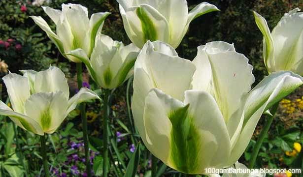 Bunga Tulip Putih