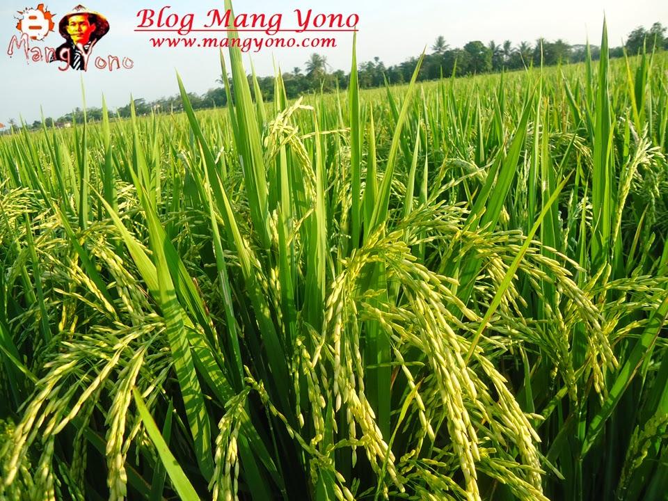Wisata Ke Sawah sambil melihat tanaman padi