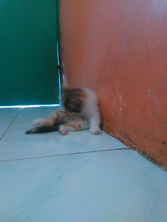 Kitten Persia Medium Cirebon