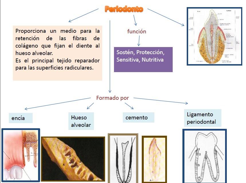 Anatomía Dental: octubre 2011
