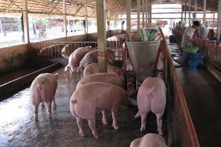 Một trại nuôi heo thịt.