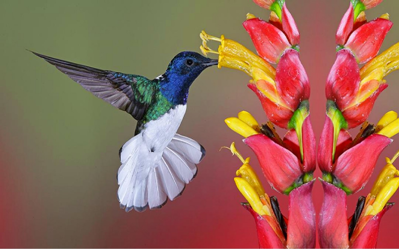 beautiful colibri bird hd - photo #33