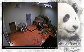 Edinburgh Zoo Panda cam
