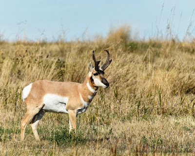Pronghorn Antelope © Shelley Banks 2103. all rights reserved