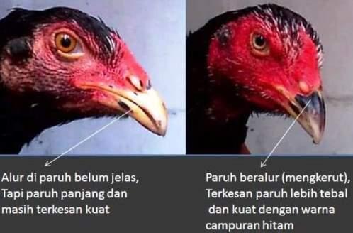ciri ciri ayam bangkok bagian paruh kepala dan jengger