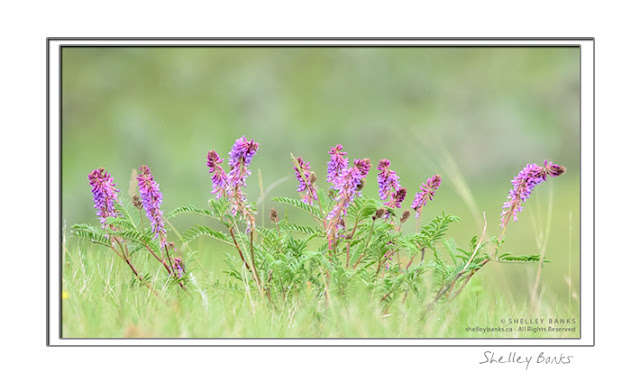 Two-grooved Milk Vetch; copyright Shelley Banks; all rights reserved.