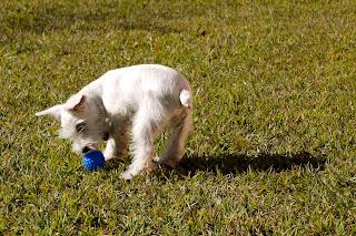 foto filhote de schnauzer miniatura branco