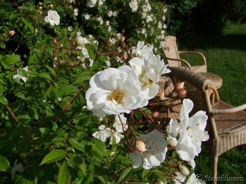 Ramblerrose im Garten