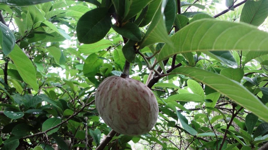 Frutas ex ticas del tr pico blog de agroindustria online for Plantas exoticas online