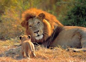 El leon  africano