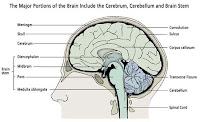 Brain Anatomy1