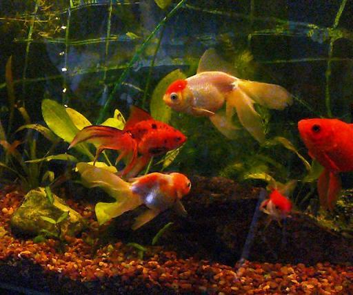 Carassius del uruguay acuario yiyo noviembre 2007 for Criaderos de peces de agua fria
