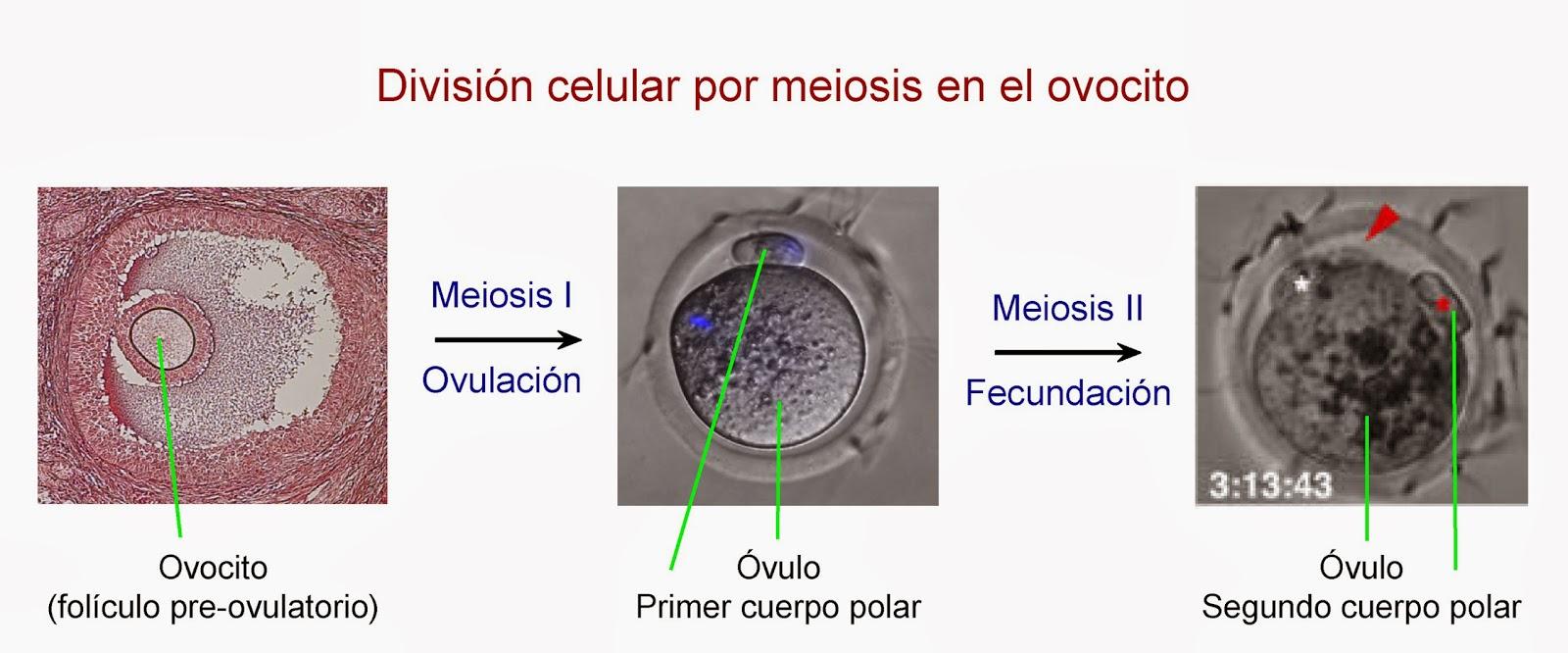 Tras la meiosis, se forma el óvulo y los cuerpos polares