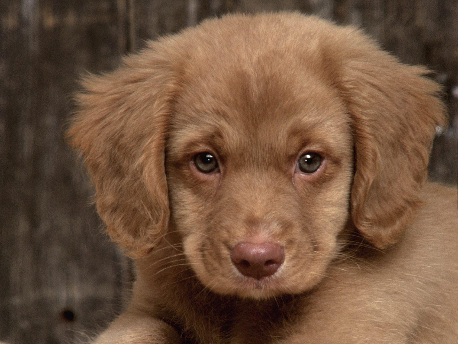 Most Inspiring Puppy Brown Adorable Dog - Buck%252C+Nova+Scotia+Duck+Tolling+Retriever  You Should Have_9410053  .jpg