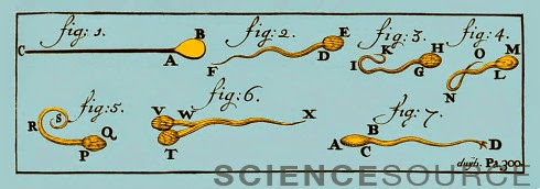 Engraving of Sperm Cells, 1707 - Stock Illustration BX1945