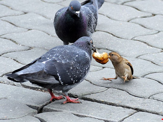 funny-pigeon-fighting-food
