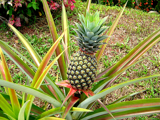 Fruit warehouse pineapple ananas comosus - Arbre de l ananas ...