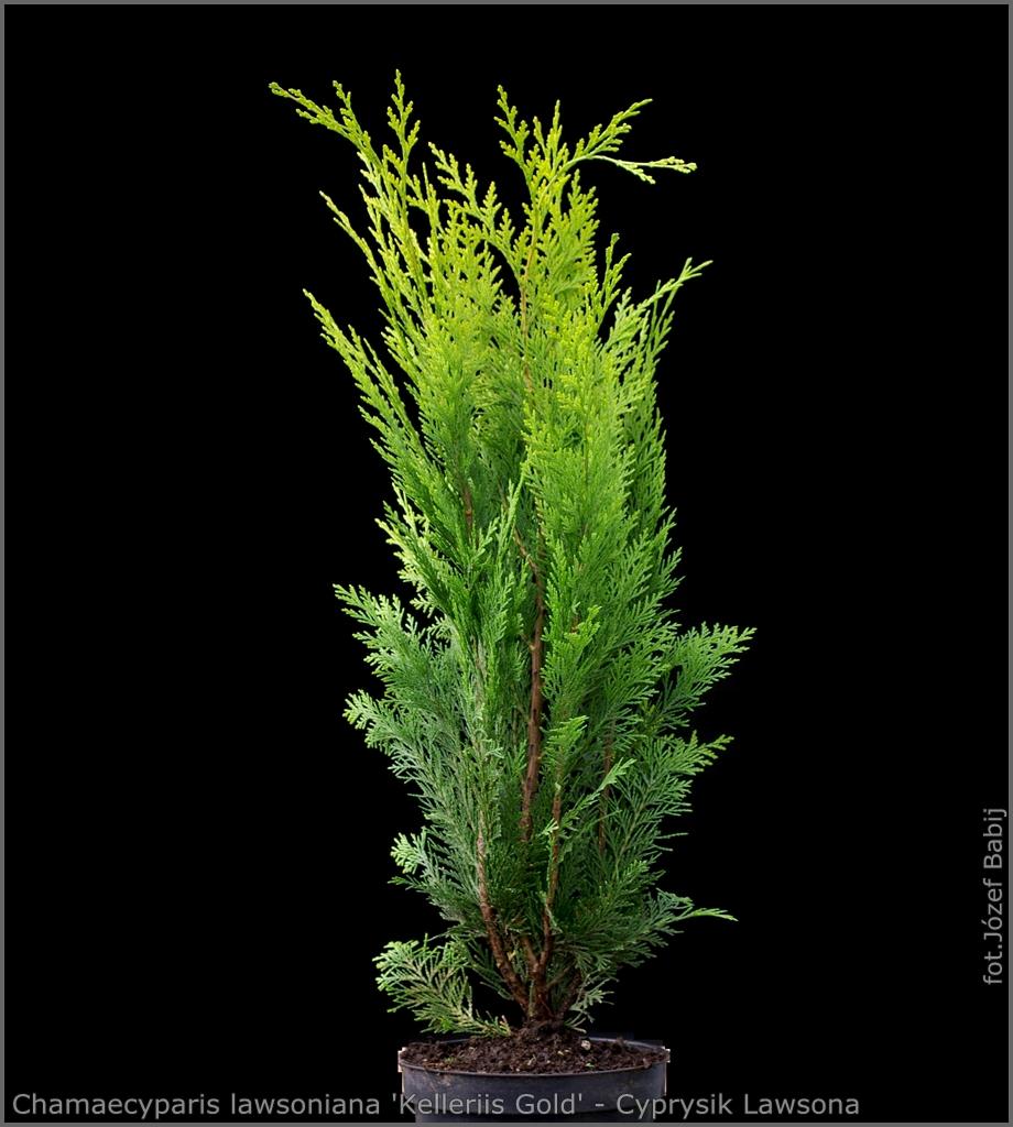 Chamaecyparis lawsoniana 'Kelleriis Gold' - Cyprysik Lawsona 'Kelleriis Gold'