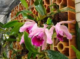 Orquídea plantadas no tijolo.