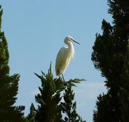 white heron