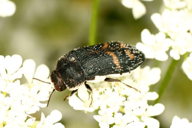 Acmaeoderella mimonti