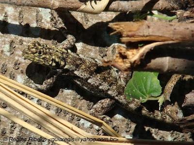 Tejú tará Tropidurus spinulosum