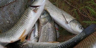 Budidaya ikan air tawar, usaha ikan air tawar