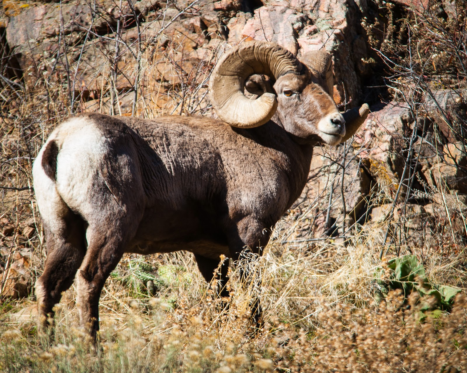 Bighorn Sheep, Waterton Canyon