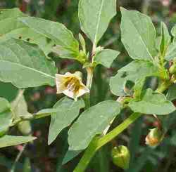 Memetik manfaat dari tanaman Ceplukan....!!!