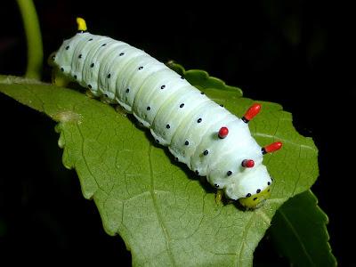 Callosamia promethea caterpillar