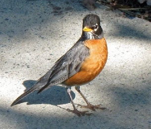 """""""'Bout time you let me, the cranky Copper robin..."""