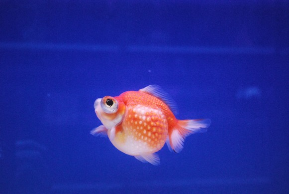 Round 'n' Cute: Born to be round: pearlscale goldfish