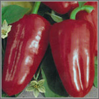 Сладкий перец сорт «Прометей»