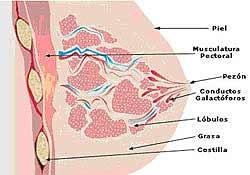 Anatomia mama LACTANCIA: ANATOMIA Y FISIOLOGIA