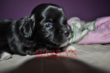 minha cachorrinha marilyn