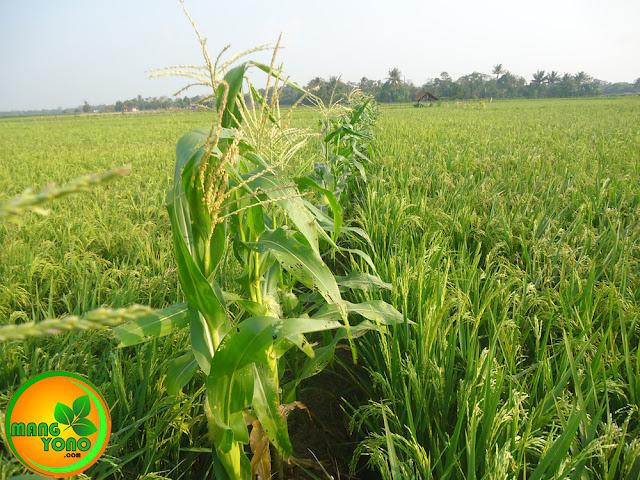FOTO : Tanaman jagung di pematang sawah...
