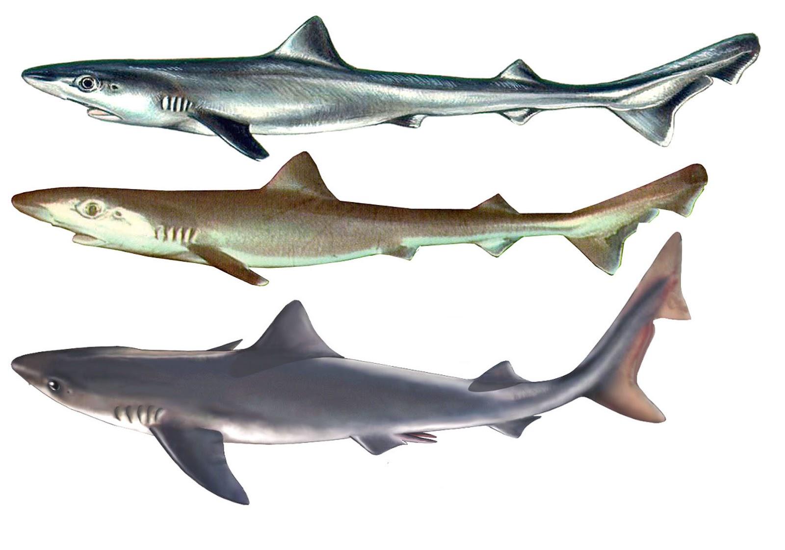 Hermosa Anatomía Interna De Tiburón Embellecimiento - Anatomía de ...