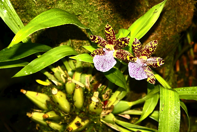 National Orchid Garden at Singapore Botanic Gardens