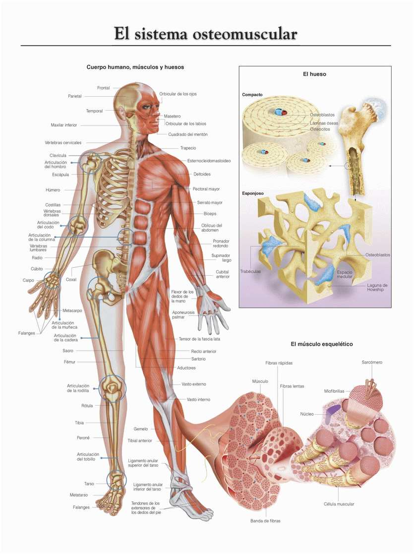 Sistema osteomuscular, el sistema locomotriz