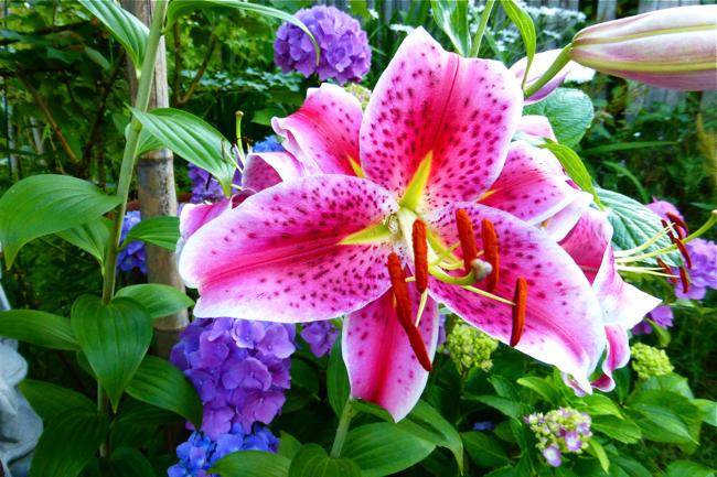 Star Gazer Lily, Oriental Star Gazer Lily, Pink Star Gazer Lily, Pink Oriental Star Gazer Lily, Pink Lily