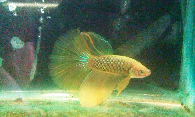 Joe 39 s aquaworld for exotic fishes mumbai india 9833898901 for Purple koi fish for sale